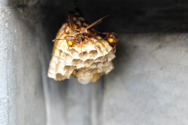 アパートに蜂の巣を発見!大東建託はどう対応してくれるの?